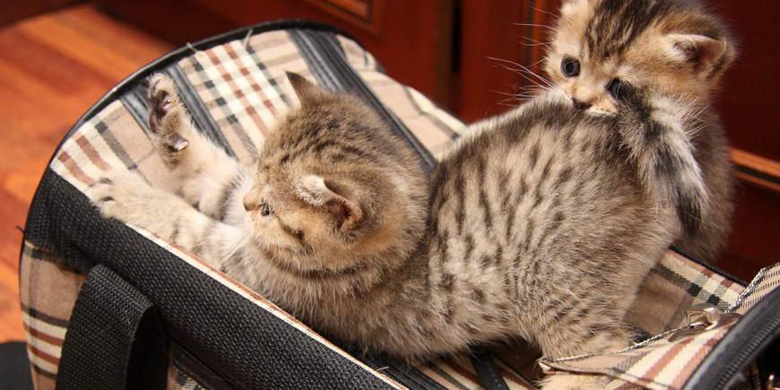 Котенок в багаже